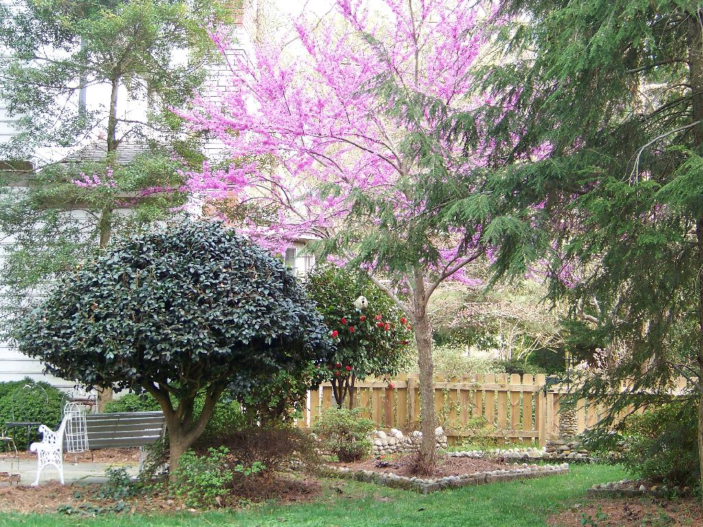 Cottage Fix blog - cottage garden with the redbud in bloom