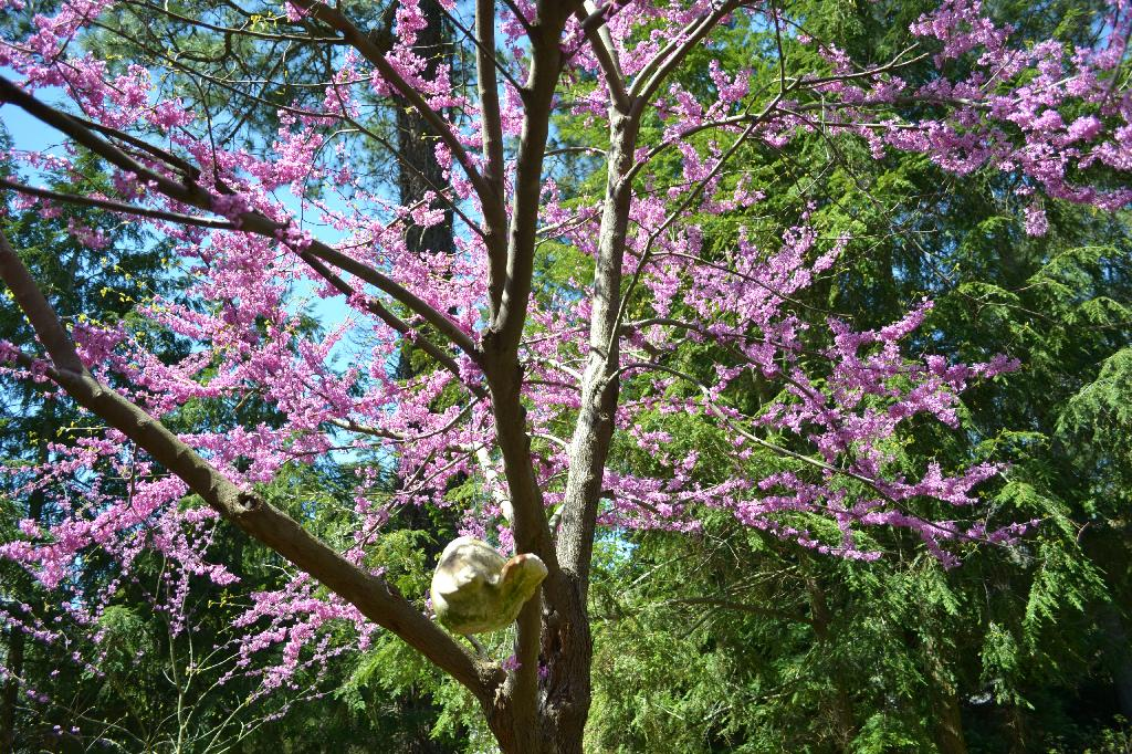 redbud in the garden