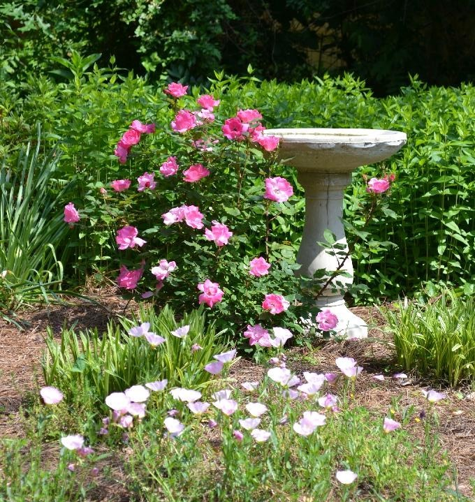 pink roses and a cottage birdbath