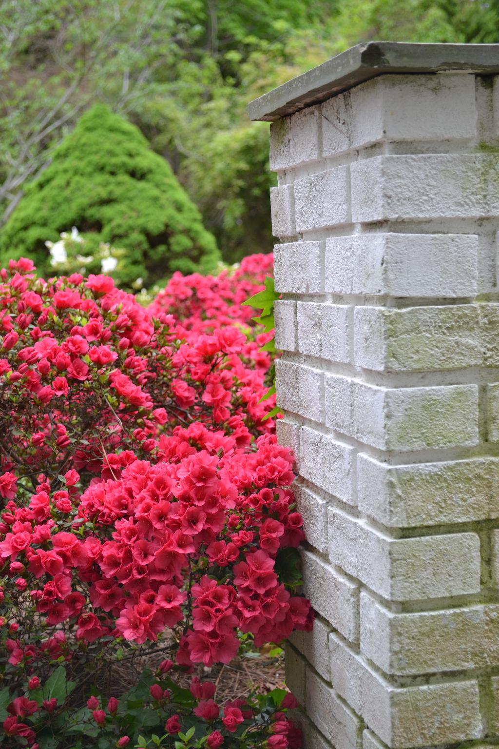 red azalea and white painted bricks