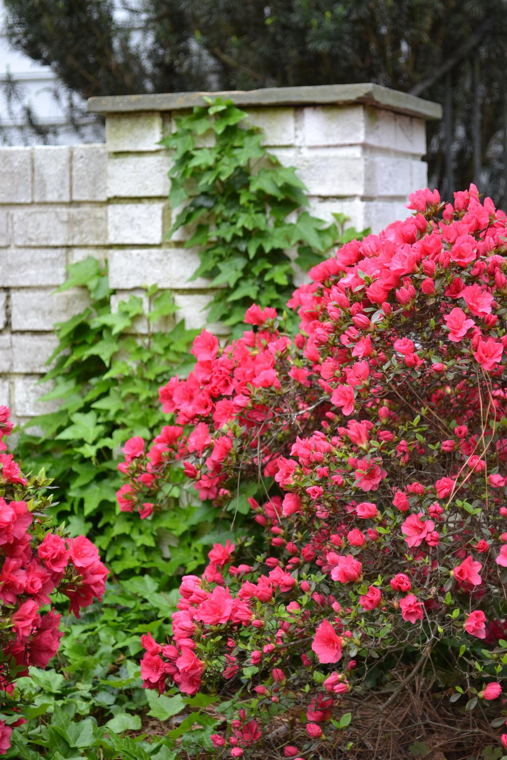 ivy and red azalea