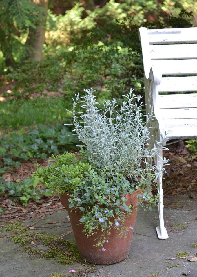Cottage Fix -clay pot with lavender and creeping speedwell on the patio