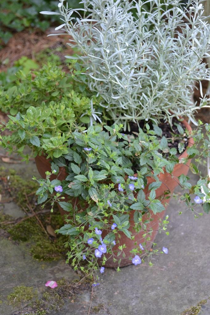 Cottage Fix -lavender and creeping speedwell