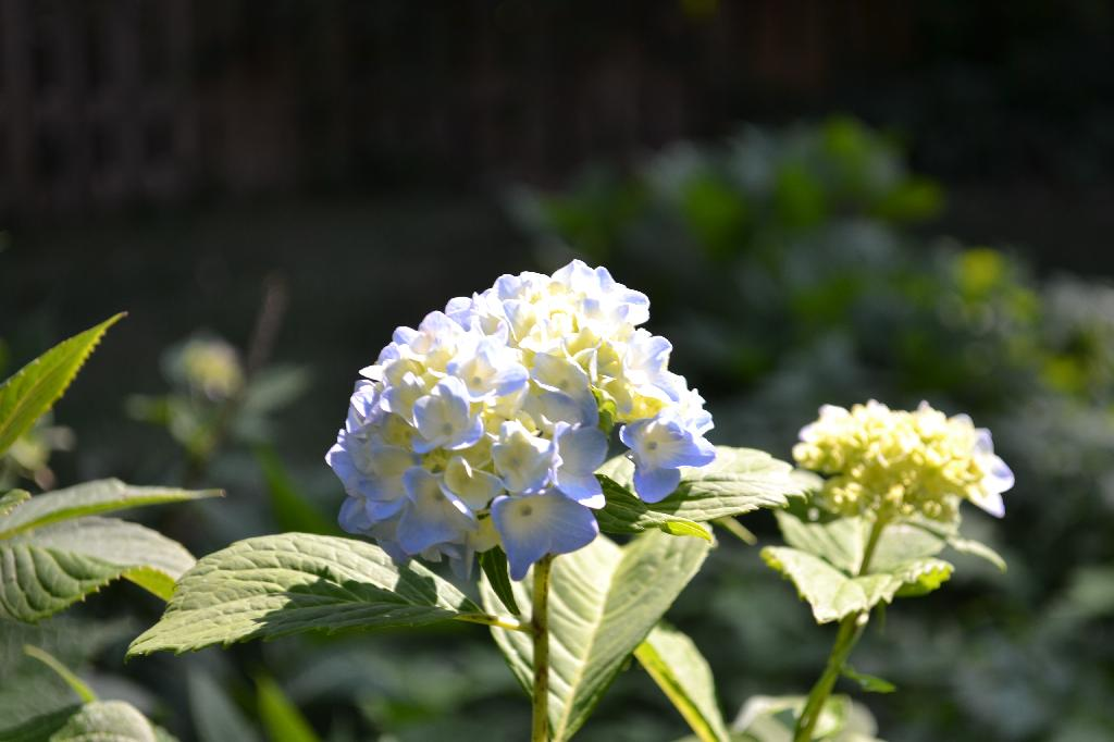 Cottage Fix -hydrangea