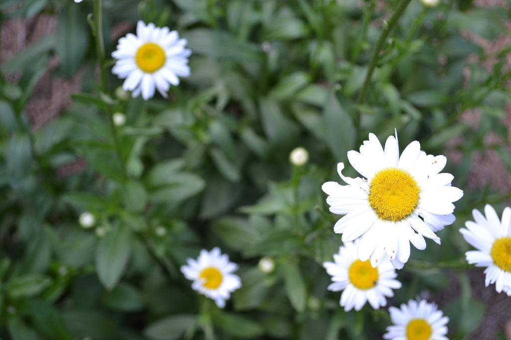 Cottage Fix -Summer daisies