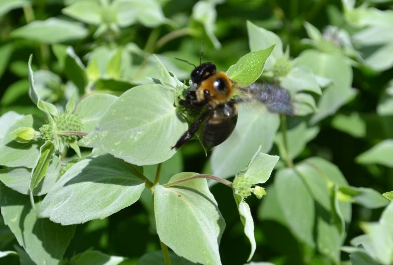 Cottage Fix -bumble bee on our mint plant