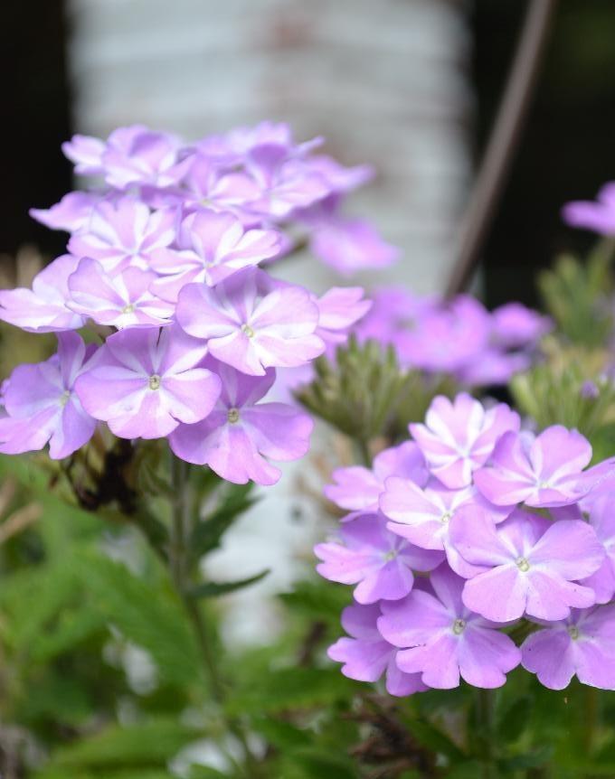 Cottage Fix -lavender blooms in our hanging basket