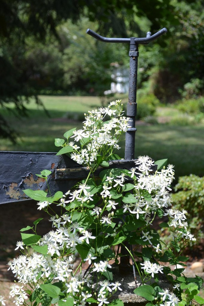 Cottage Fix - autumn clematis growing on our sprinkler