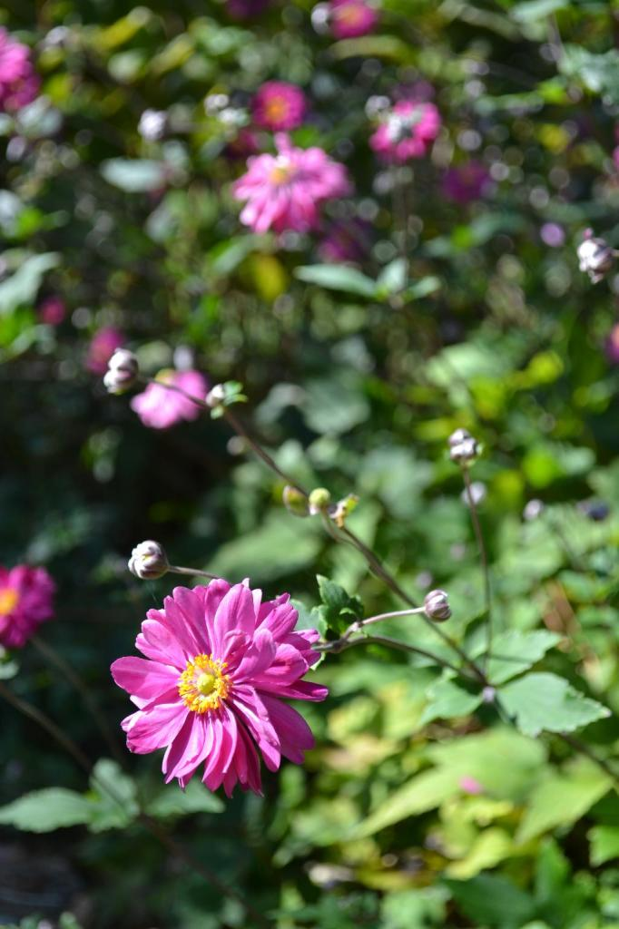 Cottage Fix - bright pink blooms