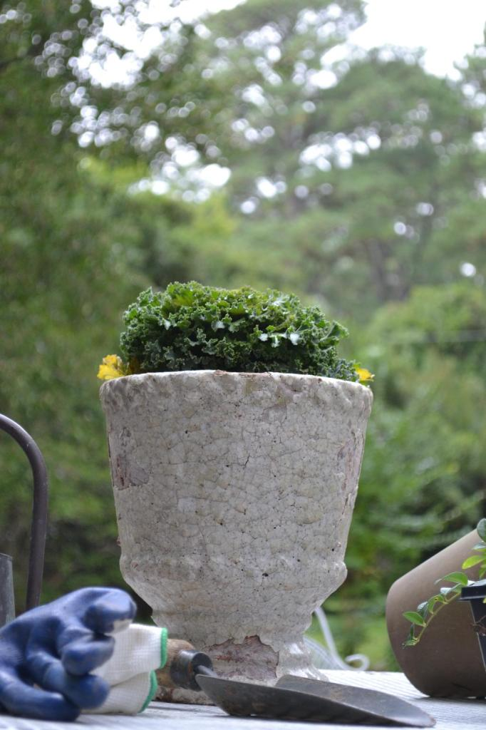 Cottage Fix - ornamental kale in a chippy clay pot