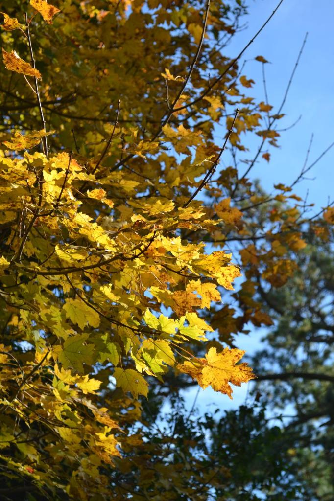 Cottage Fix - yellow maple tree