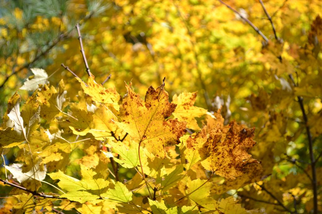 Cottage Fix - yellow maple leaves