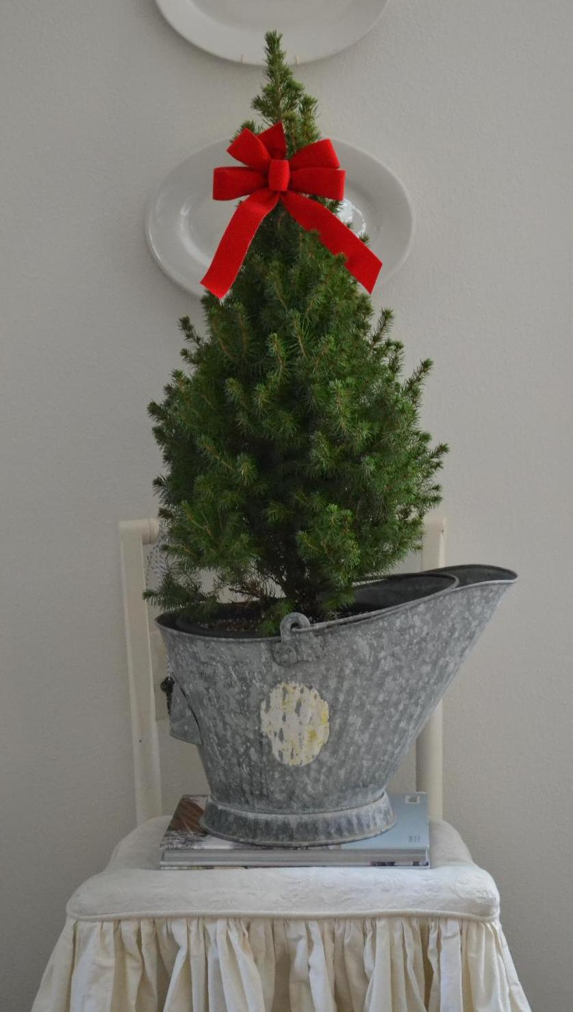 Cottage Fix - Christmas tree in galvanized ash bucket