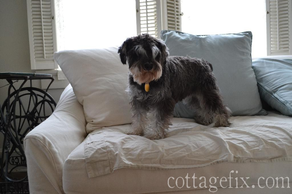 Cottage Fix blog - Paisley our miniature schnauzer