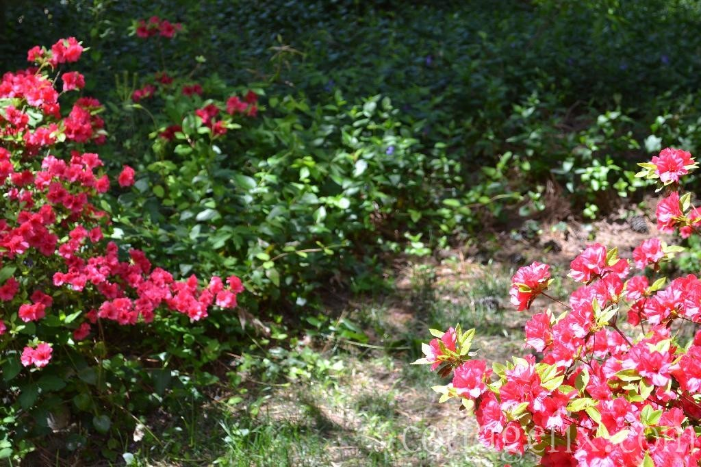 Cottage Fix blog - azaleas and ground cover