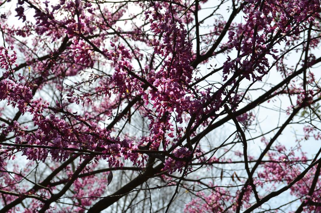 Cottage Fix - redbud branches