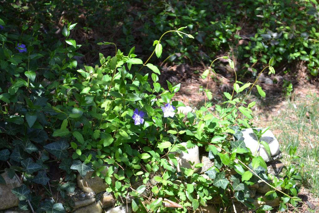 Cottage Fix - vinca in the garden