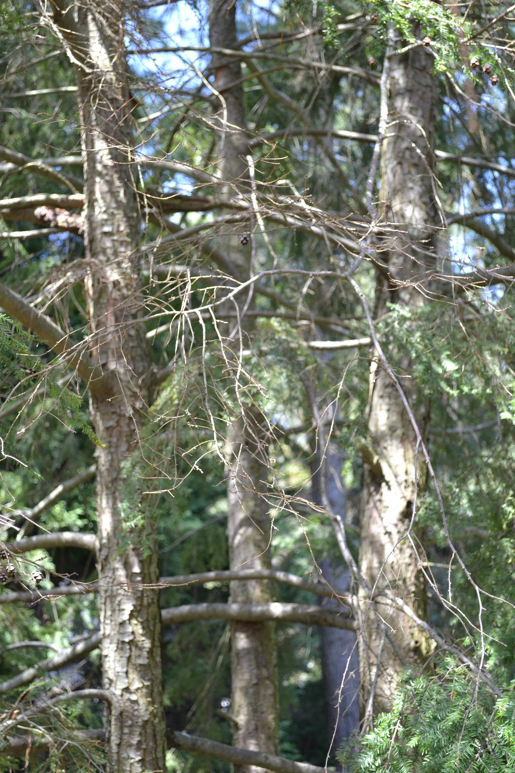 Cottage Fix - eastern hemlock