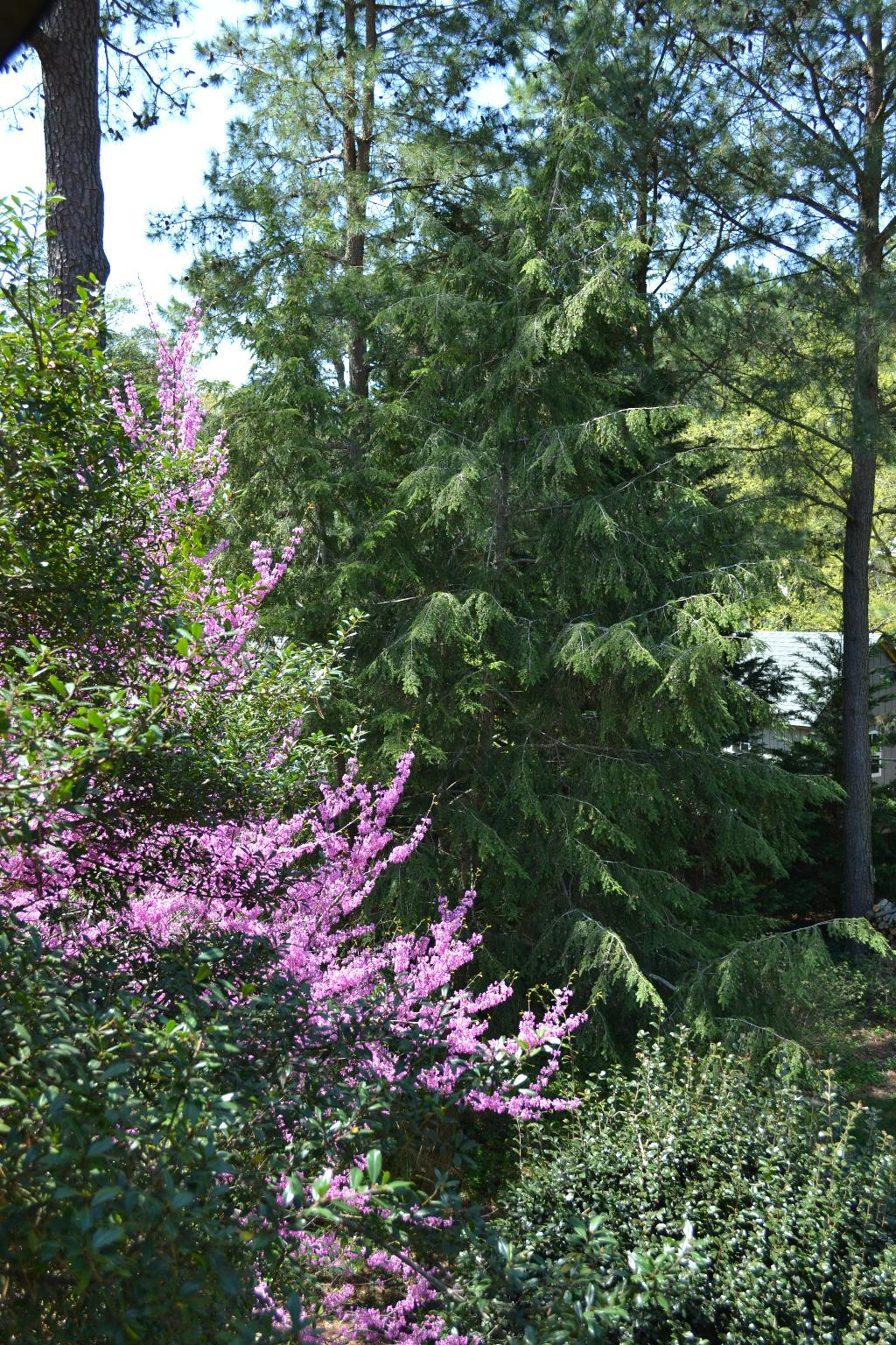 Cottage Fix - redbud and eastern hemlock