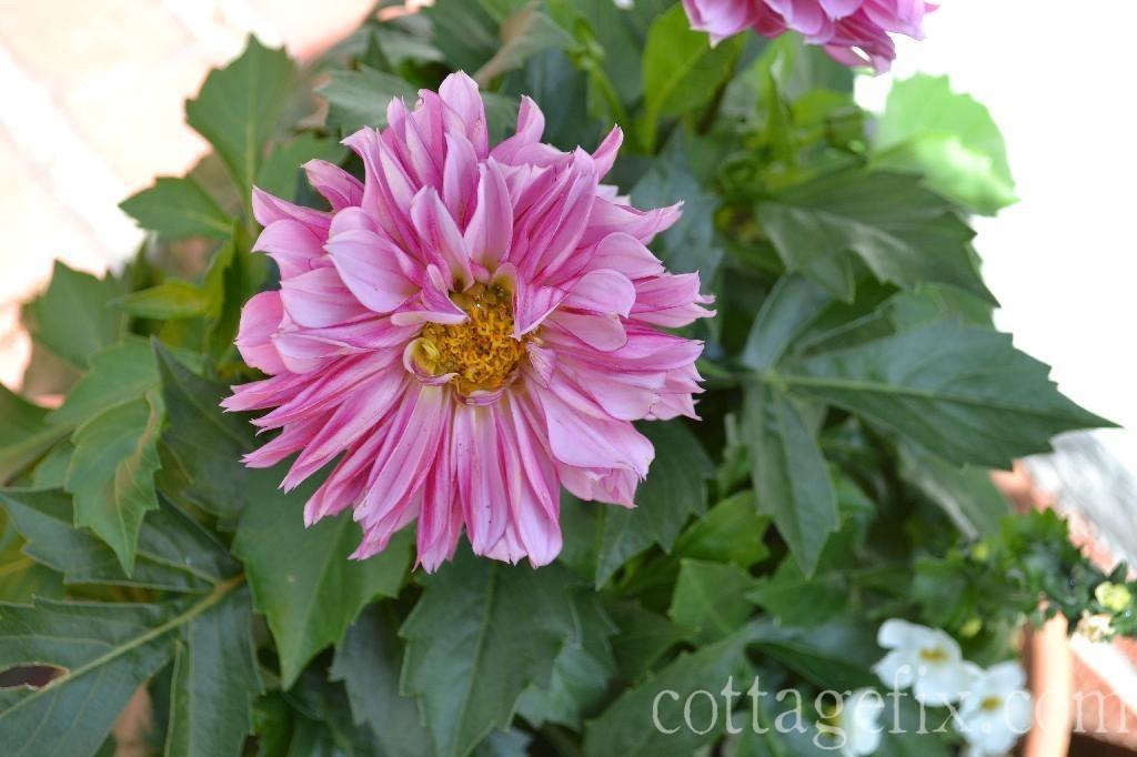 Cottage Fix blog - dahlia bloom