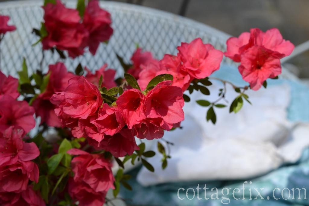 Cottage Fix blog - bright pink azaleas