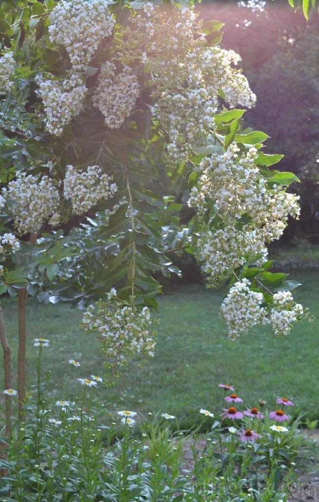 Cottage Fix blog - natchez crepe myrtle in bloom