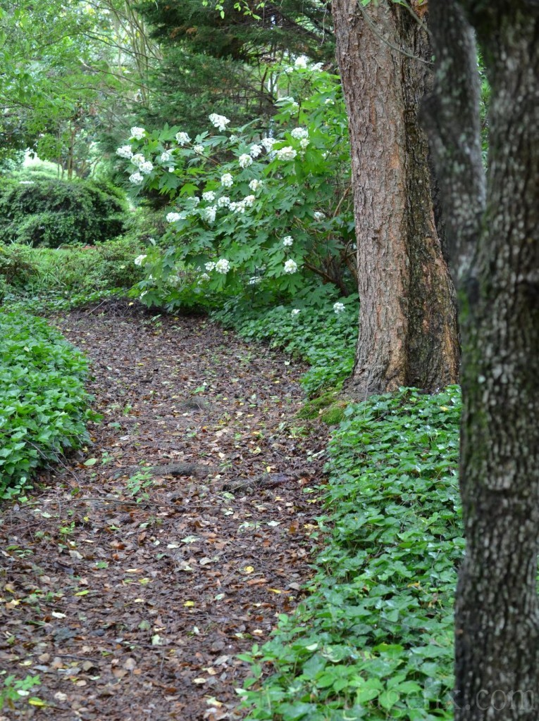 Cottage Fix blog - side garden path and oakleaf hydrangea