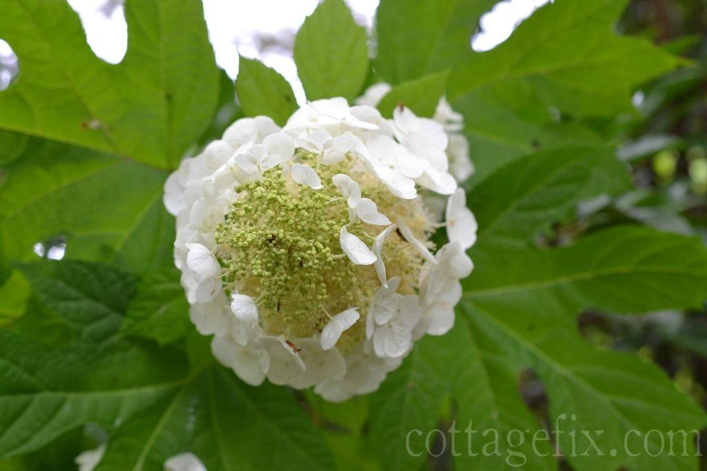 Cottage Fix blog - oakleaf hydrangea