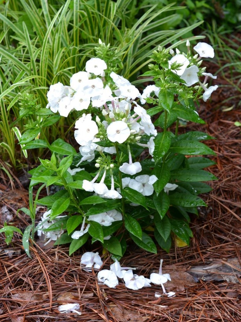 Cottage Fix blog - garden phlox