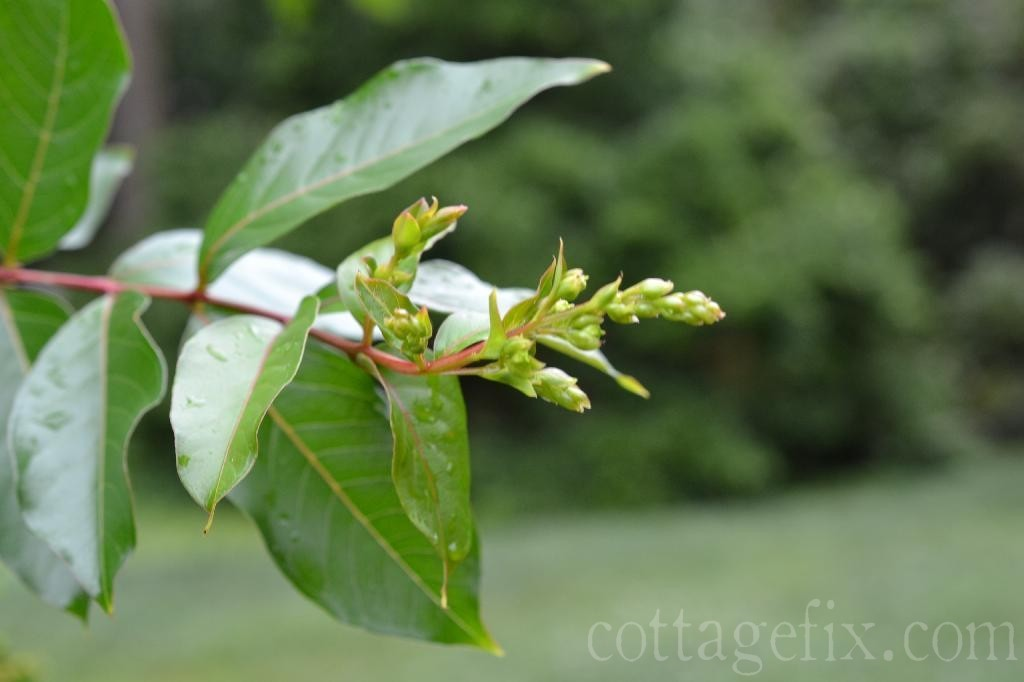 Cottage Fix blog - crepe myrtle branch in the spring
