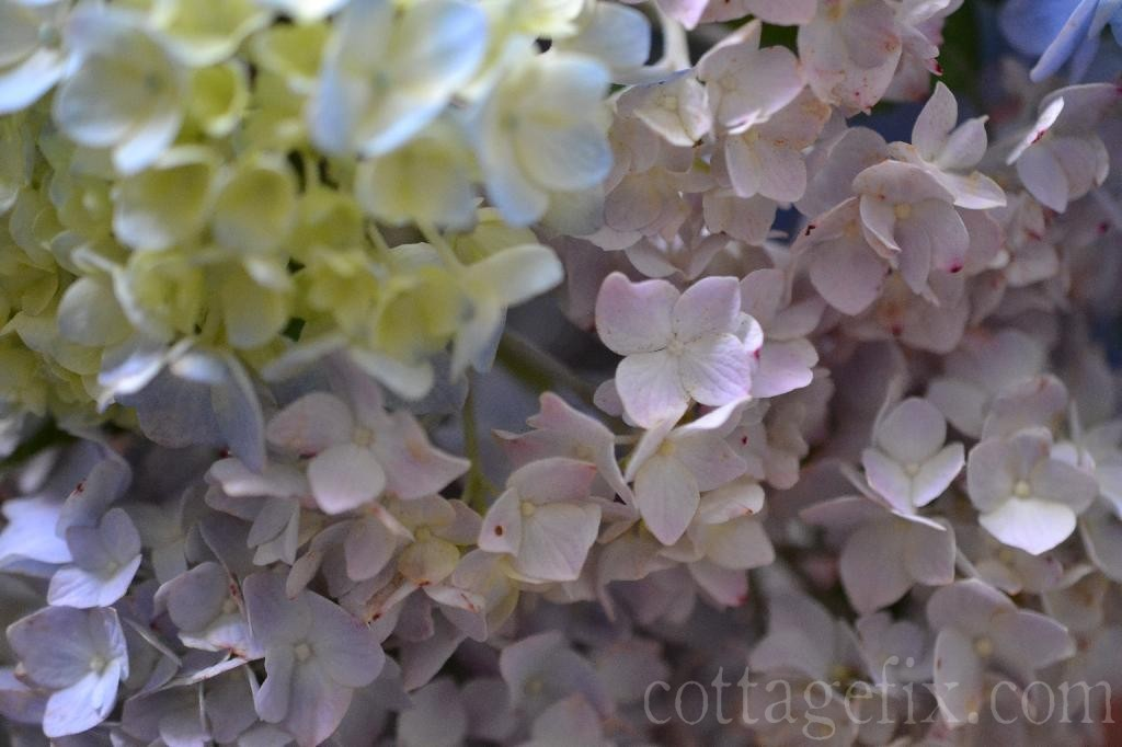Cottage Fix blog - hydrangea