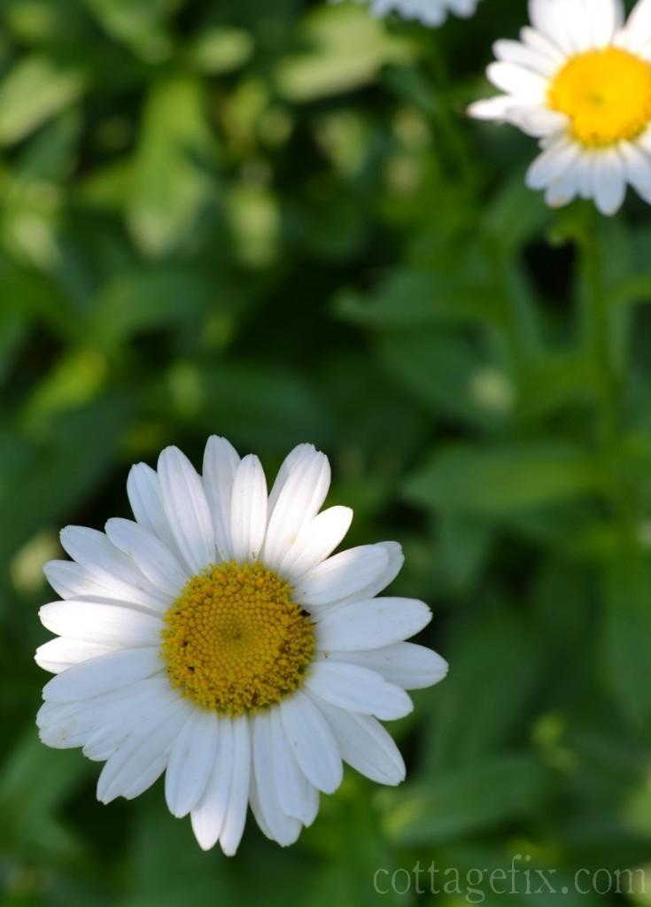 Cottage Fix blog daisies