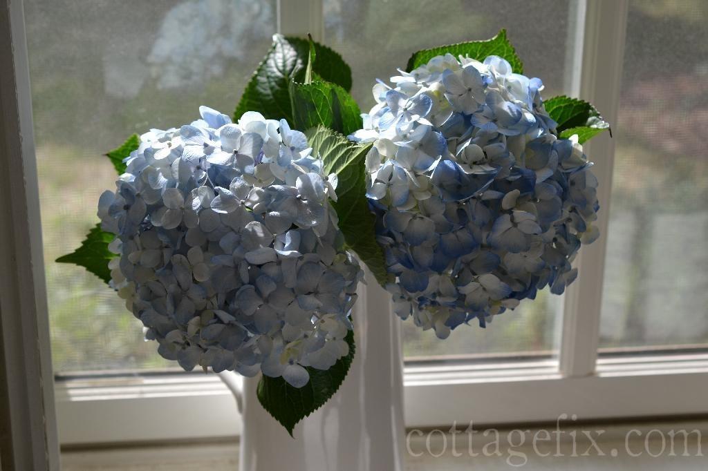 Cottage Fix blog - fresh blue hydrangeas