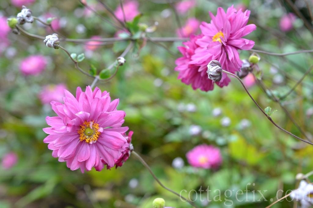 Cottage Fix blog - fall blooming perennials