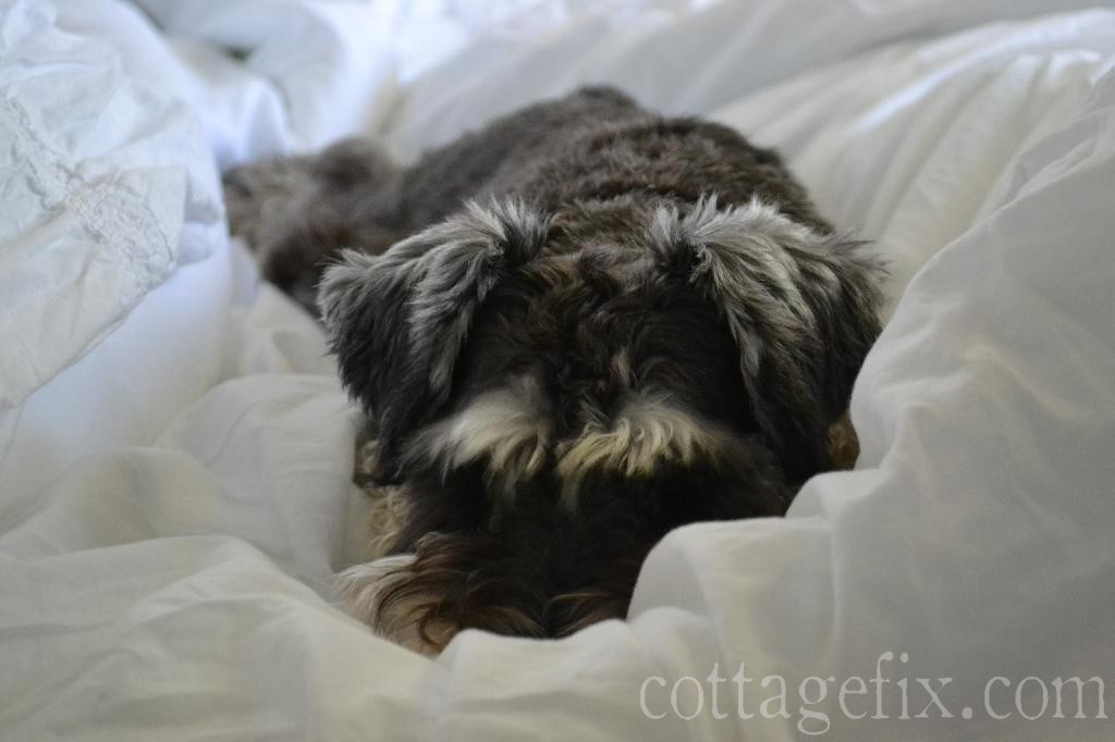 Cottage Fix blog - Miss Paisley and a bundle of fluff