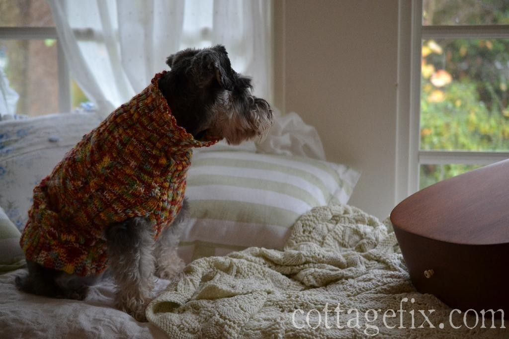 Cottage Fix blog - Miss Paisley the miniature schnauzer watching the rain