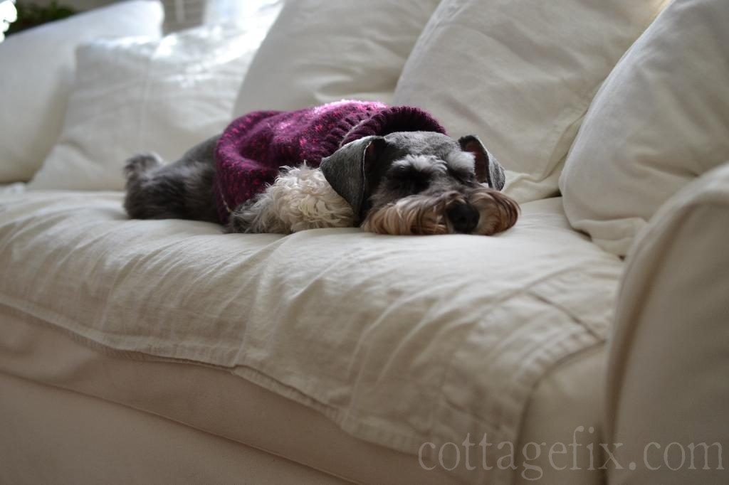 Cottage Fix blog - Miss Paisley the miniature schnauzer