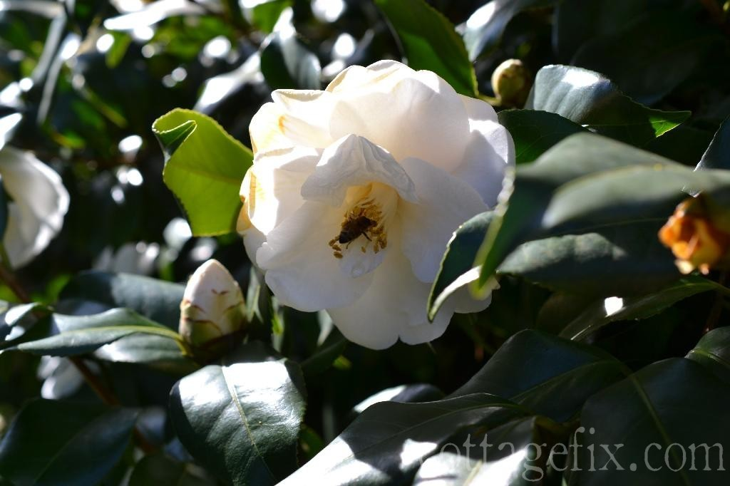 Cottage Fix blog - white camellia in the sun