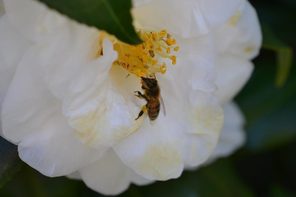 Cottage Fix blog - white camellia and a hungry bee