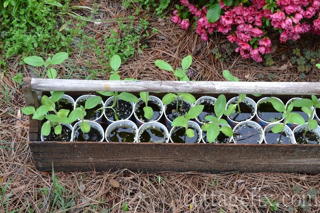 Cottage Fix blog - sunflower seedlings after a big storm