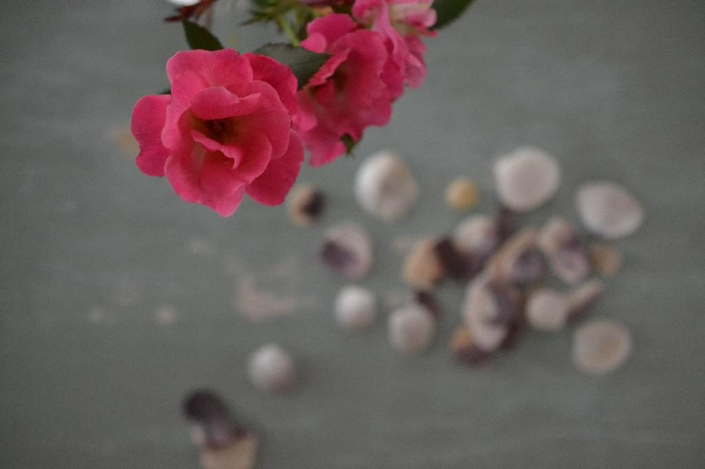 Cottage Fix blog - pink roses and sea shells