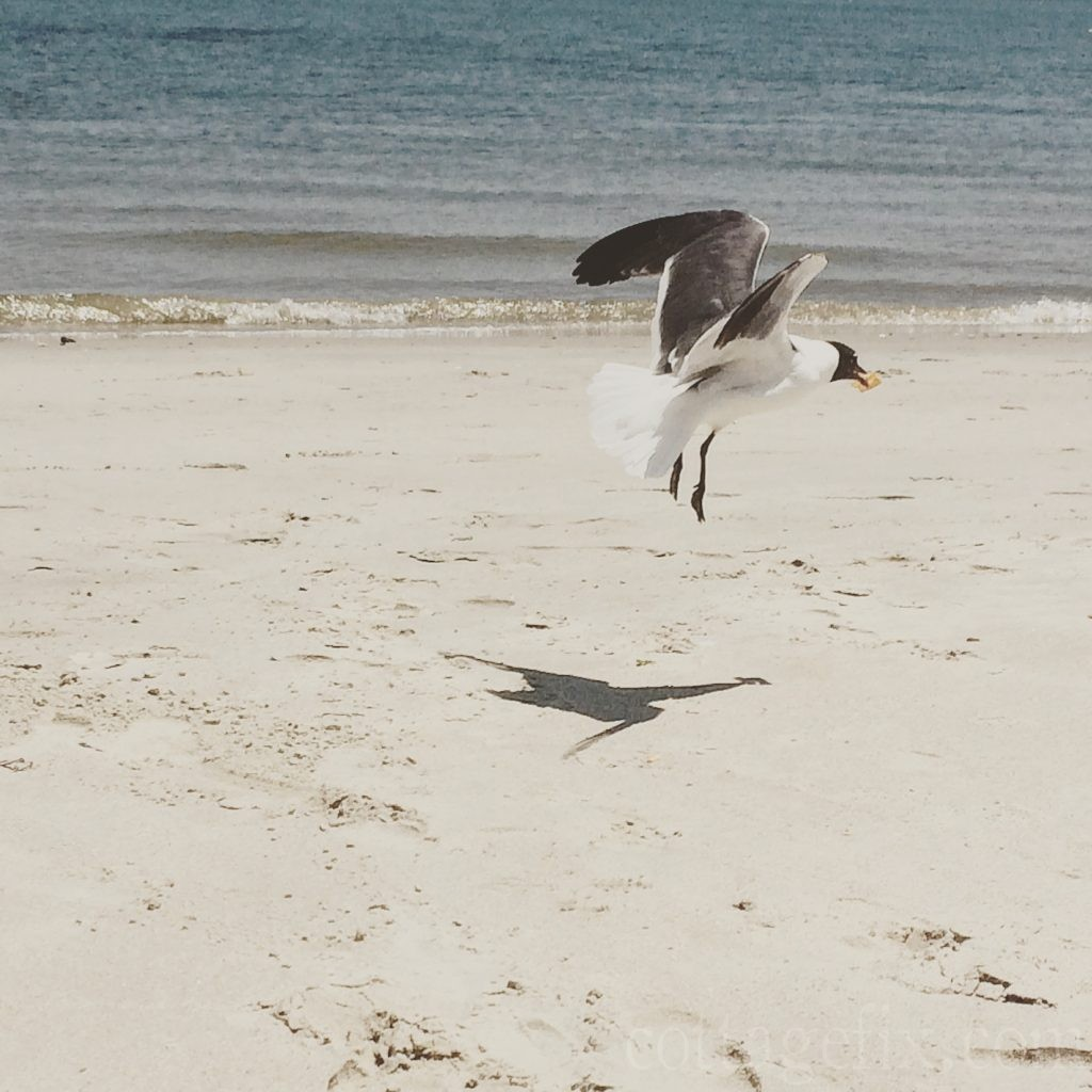 Cottage Fix blog - seagull taking off with a Sun chip