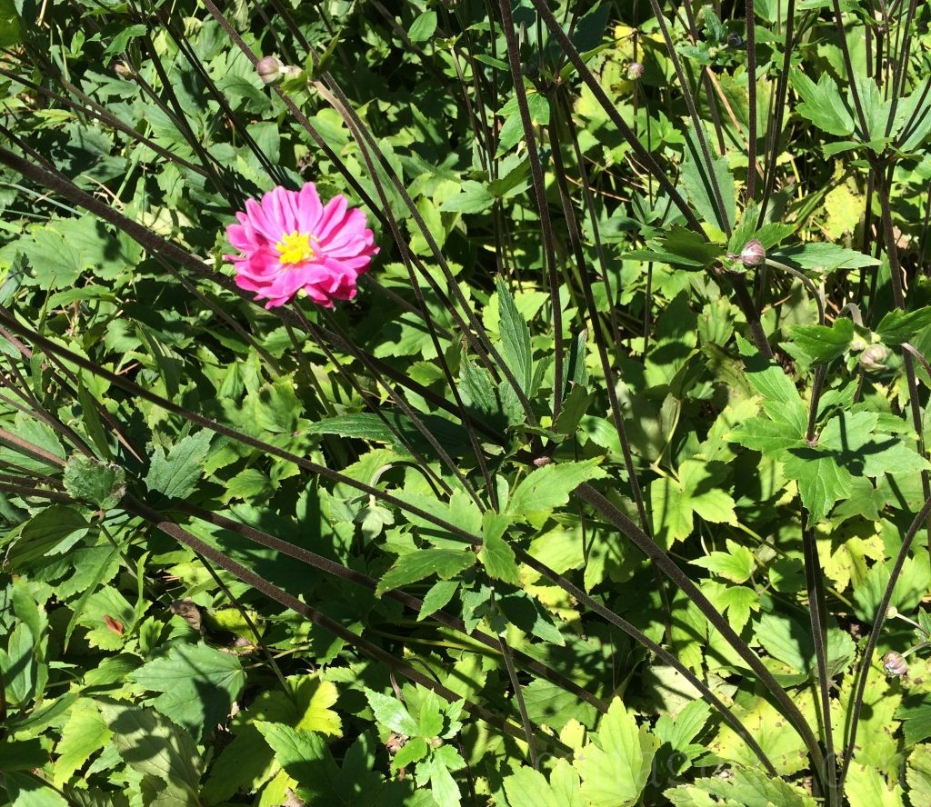 Cottage Fix blog - late summer bright pink bloom
