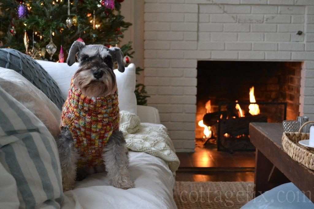 Cottage Fix blog - Paisley our miniature schnauzer wearing her cozy sweater