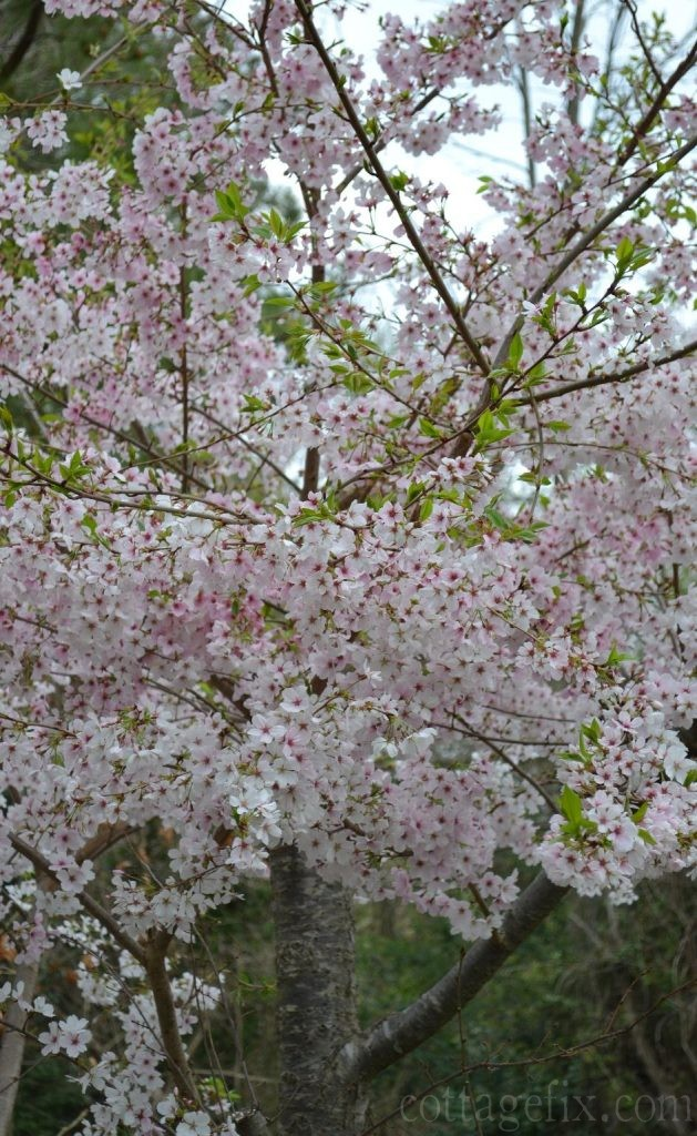 Cottage Fix blog - cherry blossom flowering spring