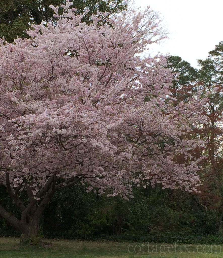 Cottage Fix blog - cherry blossom in our neighborhood