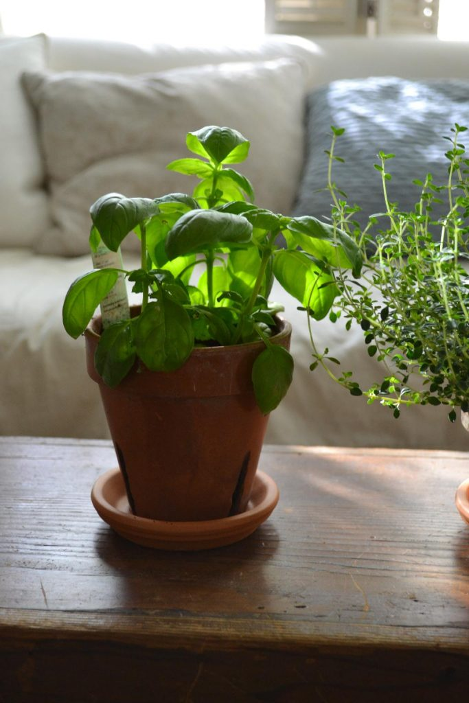 Cottage Fix blog- basil growing inside