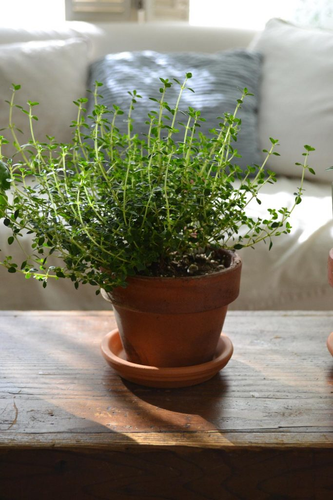 Cottage Fix blog - thyme in clay pot growing inside