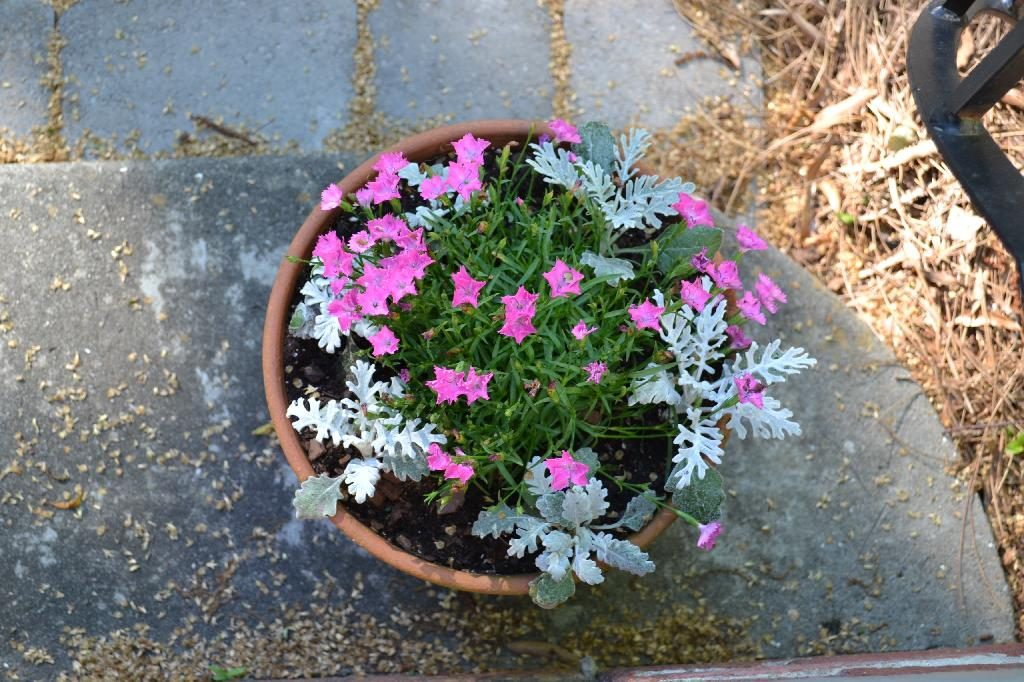 Cottage Fix blog - Dianthus and Dusty Miller