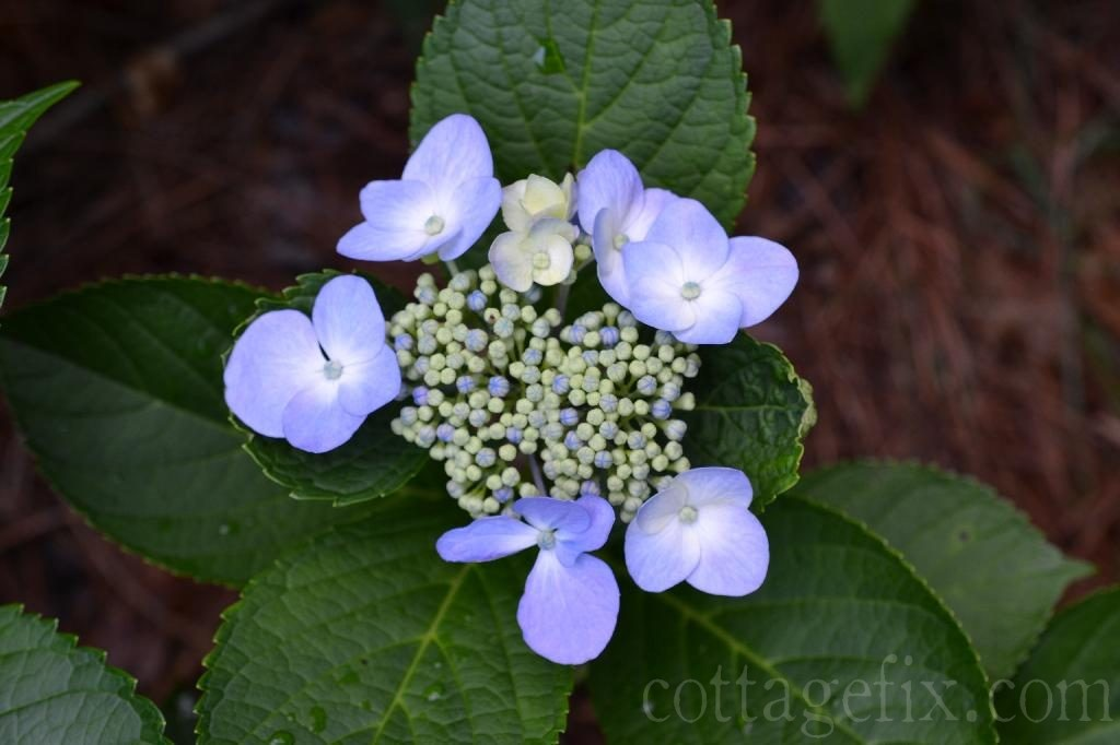 Cottage Fix blog - lace cap hydrangea